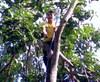 Pohon_mangga2