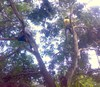 Pohon_mangga5